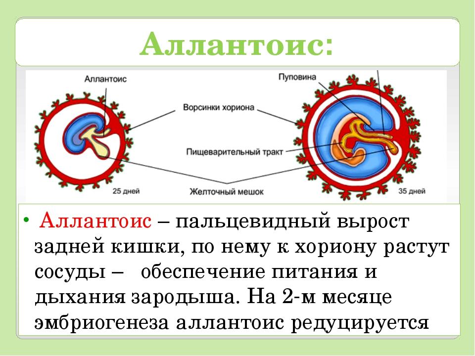 Аллантоис: Аллантоис – пальцевидный вырост задней кишки, по нему к хориону ра...