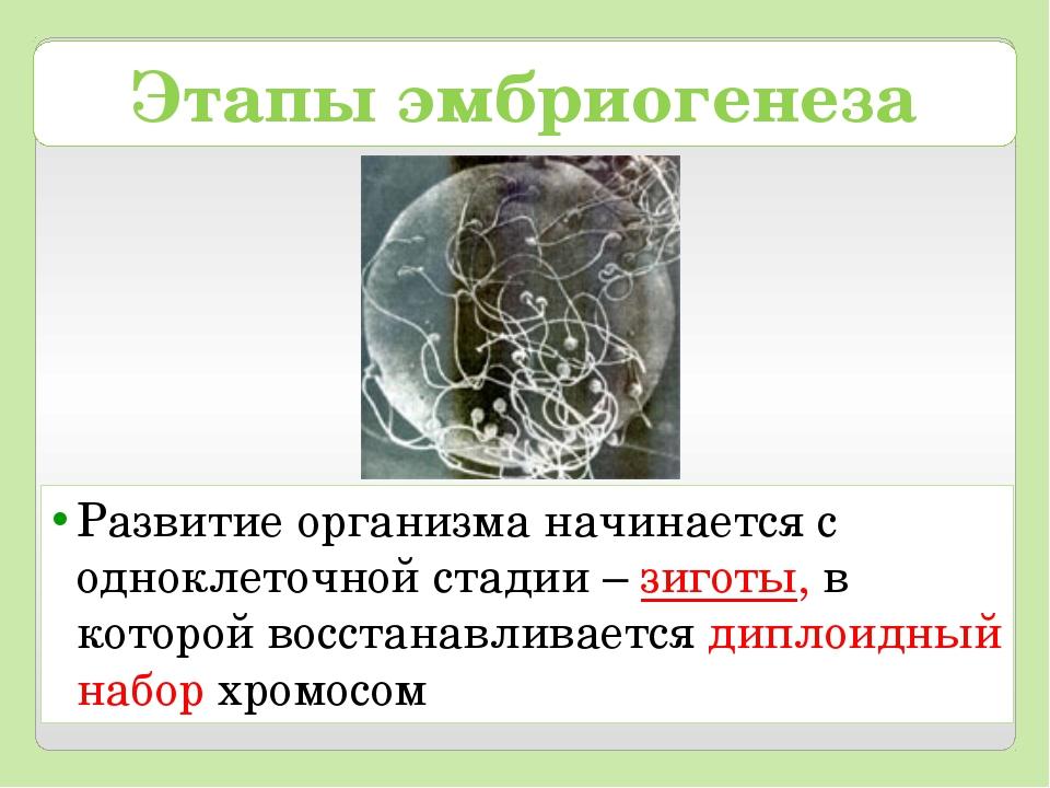 Этапы эмбриогенеза Развитие организма начинается с одноклеточной стадии – зиг...