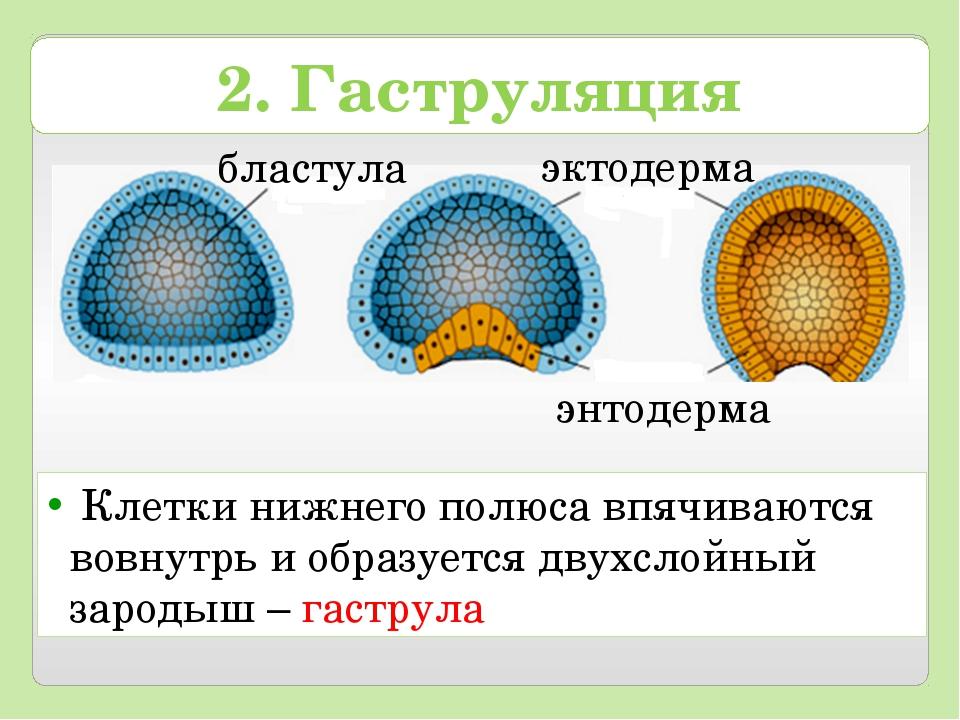 Клетки нижнего полюса впячиваются вовнутрь и образуется двухслойный зародыш...