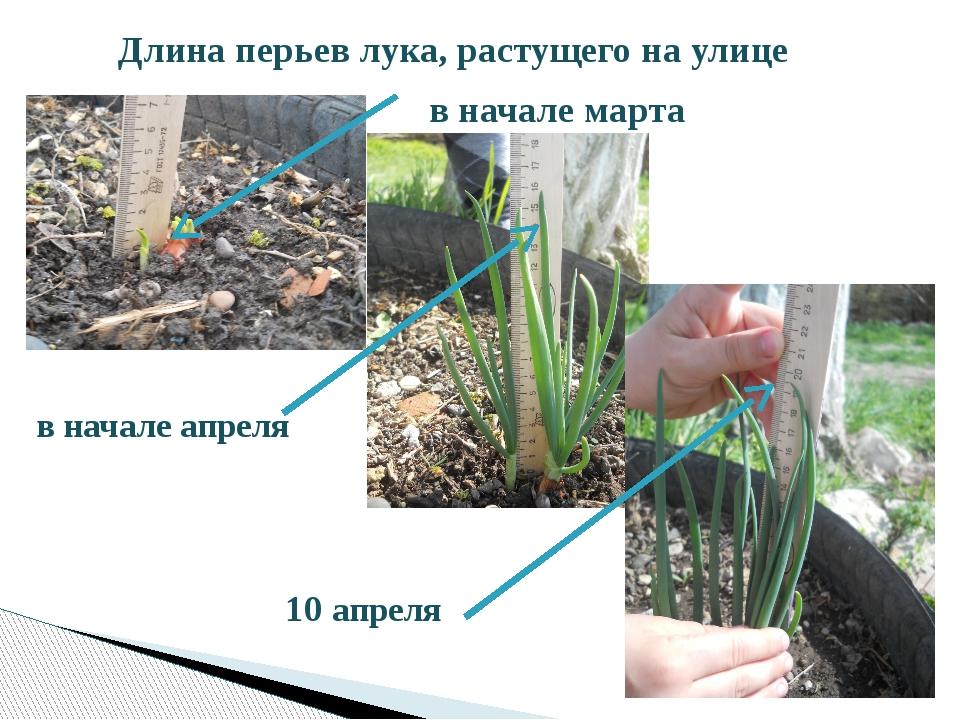 Длина перьев лука, растущего на улице в начале марта в начале апреля 10 апреля