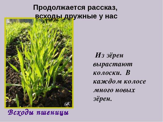 Из зёрен вырастают колоски. В каждом колосе много новых зёрен. Всходы пшениц...