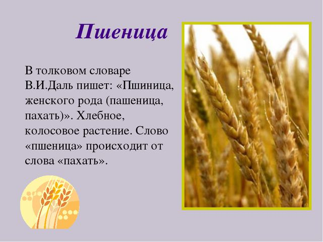 Пшеница В толковом словаре В.И.Даль пишет: «Пшиница, женского рода (пашеница,...