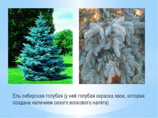 Ель сибирская голубая (у неё голубая окраска хвои, которая создана наличием с