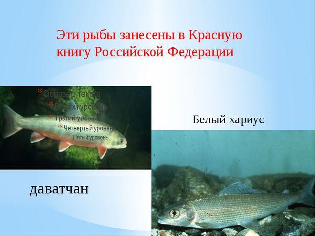 Белый хариус даватчан Эти рыбы занесены в Красную книгу Российской Федерации