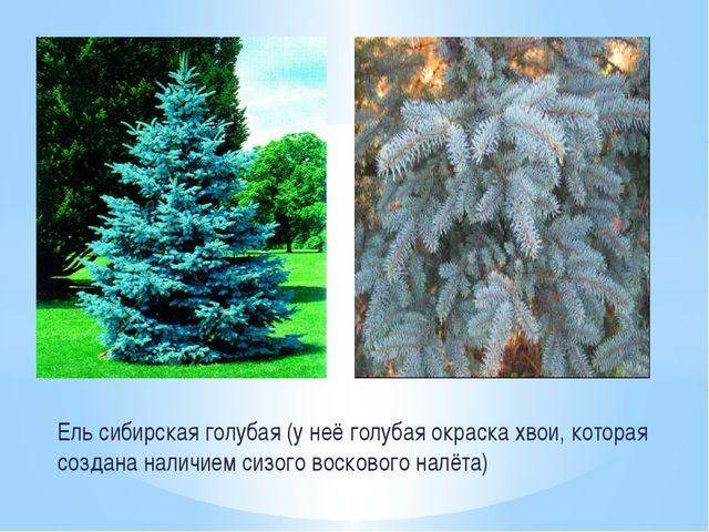 Ель сибирская голубая (у неё голубая окраска хвои, которая создана наличием с...