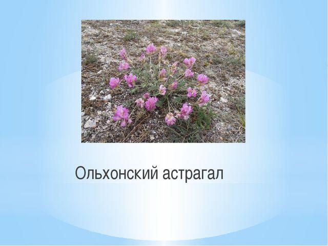 Ольхонский астрагал