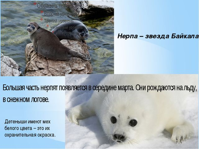 Нерпа – звезда Байкала Детеныши имеют мех белого цвета – это их охранительная...