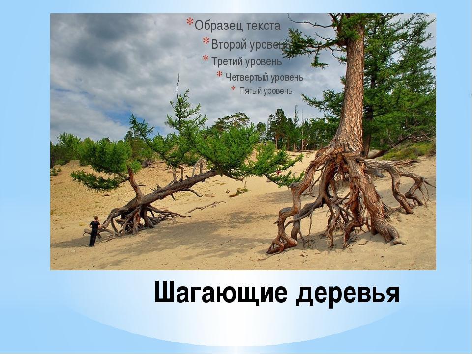 Шагающие деревья