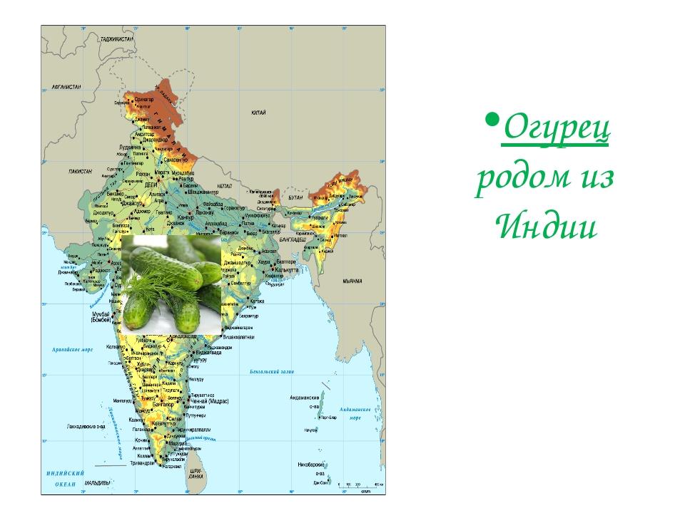Огурец родом из Индии