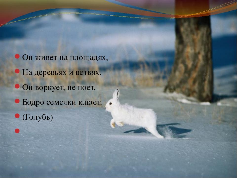 Он живет на площадях, На деревьях и ветвях. Он воркует, не поет, Бодро семеч...