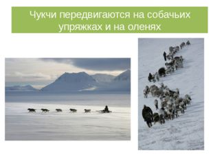 Чукчи передвигаются на собачьих упряжках и на оленях