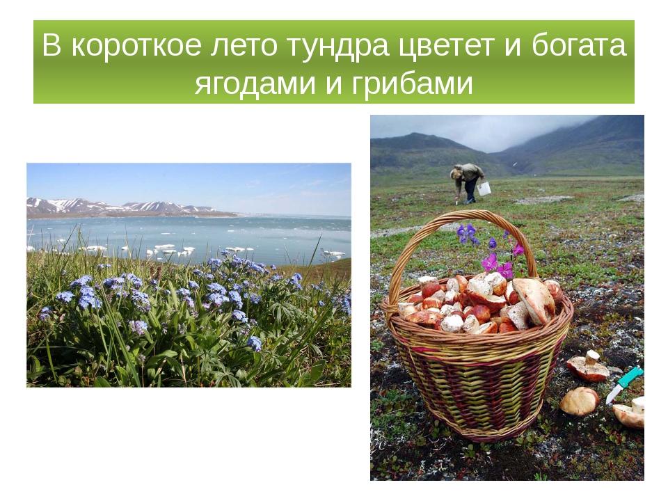 В короткое лето тундра цветет и богата ягодами и грибами