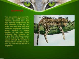 LEOPARDS They are considered as one of the species that could soon face extin