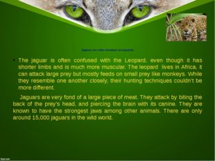 Jaguars are often mistaken as leopards The jaguar is often confused with the