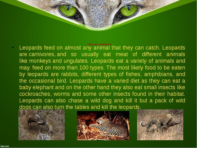 They are carnivores Leopards feed on almost any animal that they can catch. L...