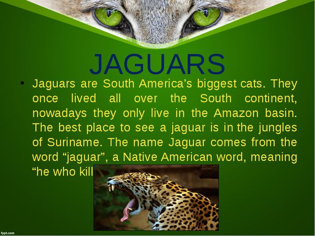 JAGUARS Jaguars are South America's biggestcats. They once lived all over th...