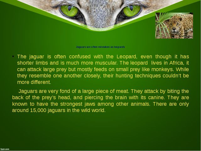 Jaguars are often mistaken as leopards The jaguar is often confused with the...