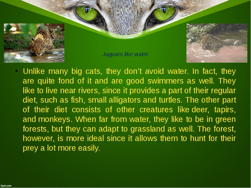 Jaguars like water Unlike many big cats, they don't avoid water. In fact, the...