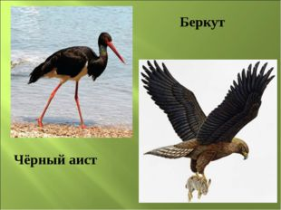 Чёрный аист Беркут