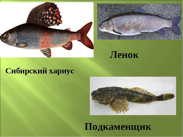 Сибирский хариус Ленок Подкаменщик