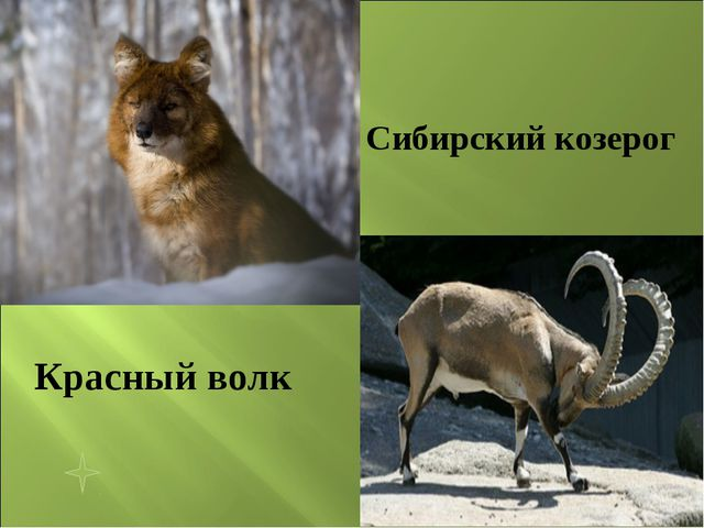 Красный волк Сибирский козерог