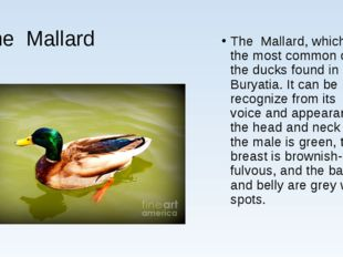 The Mallard The Mallard, which is the most common of all the ducks found in B