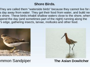 "Common Sandpiper The Asian Dowitcher Shore Birds. They are called them ""wate"