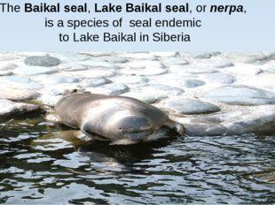 TheBaikal seal,Lake Baikal seal, ornerpa, is a species of seal endemic t