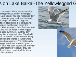 Gulls on Lake Baikal-The Yellowlegged Gull You know who this is, of course –