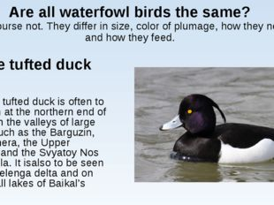 Are all waterfowl birds the same? Of course not. They differ in size, color o