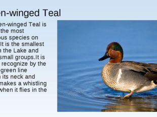 Green-winged Teal Green-winged Teal is among the most numerous species on Bai