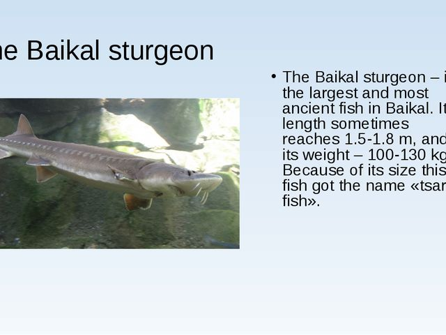 The Baikal sturgeon The Baikal sturgeon – is the largest and most ancient fis...