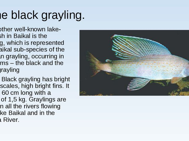 Тhe black grayling. Another well-known lake-river fish in Baikal is the grayl...