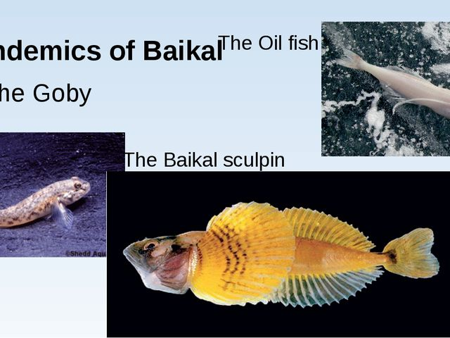 Endemics of Baikal The Goby The Baikal sculpin The Oil fish