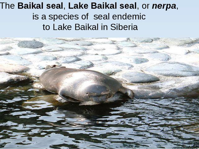 TheBaikal seal,Lake Baikal seal, ornerpa, is a species of seal endemic t...