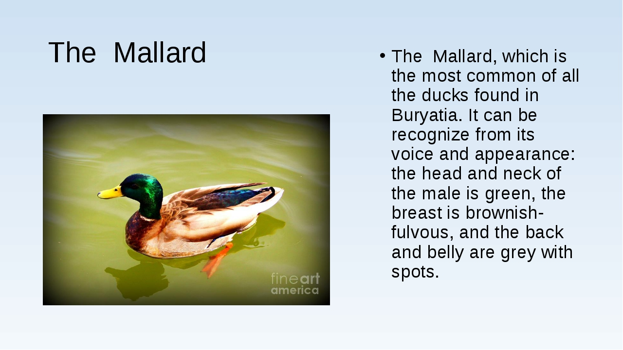 The Mallard The Mallard, which is the most common of all the ducks found in B...