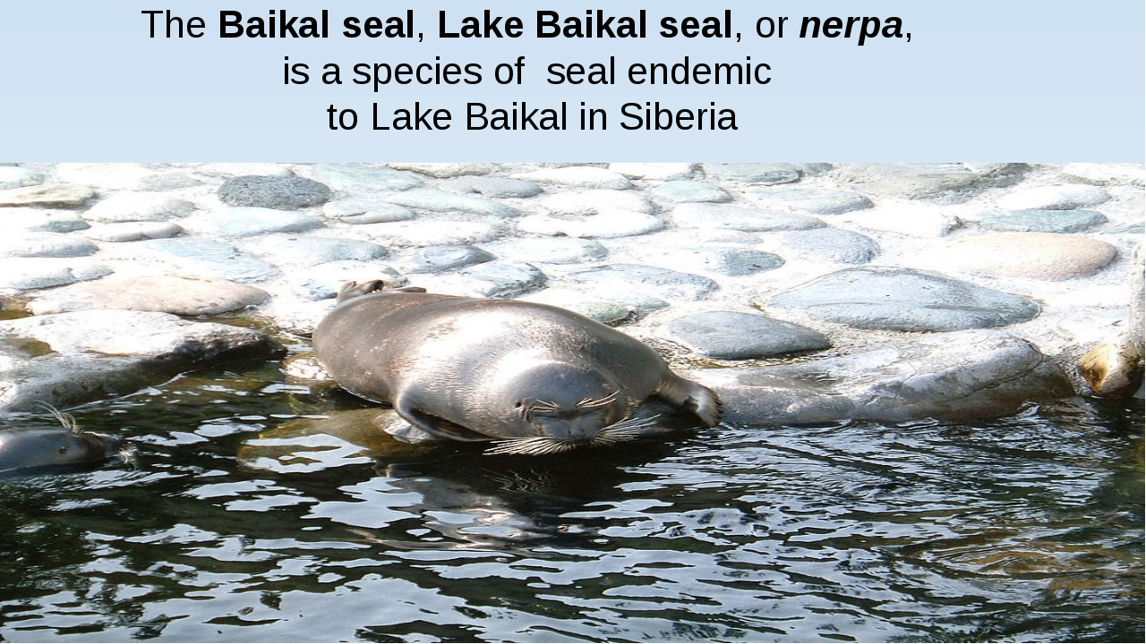 The Baikal seal, Lake Baikal seal, or nerpa, is a species of  seal endemic  t...