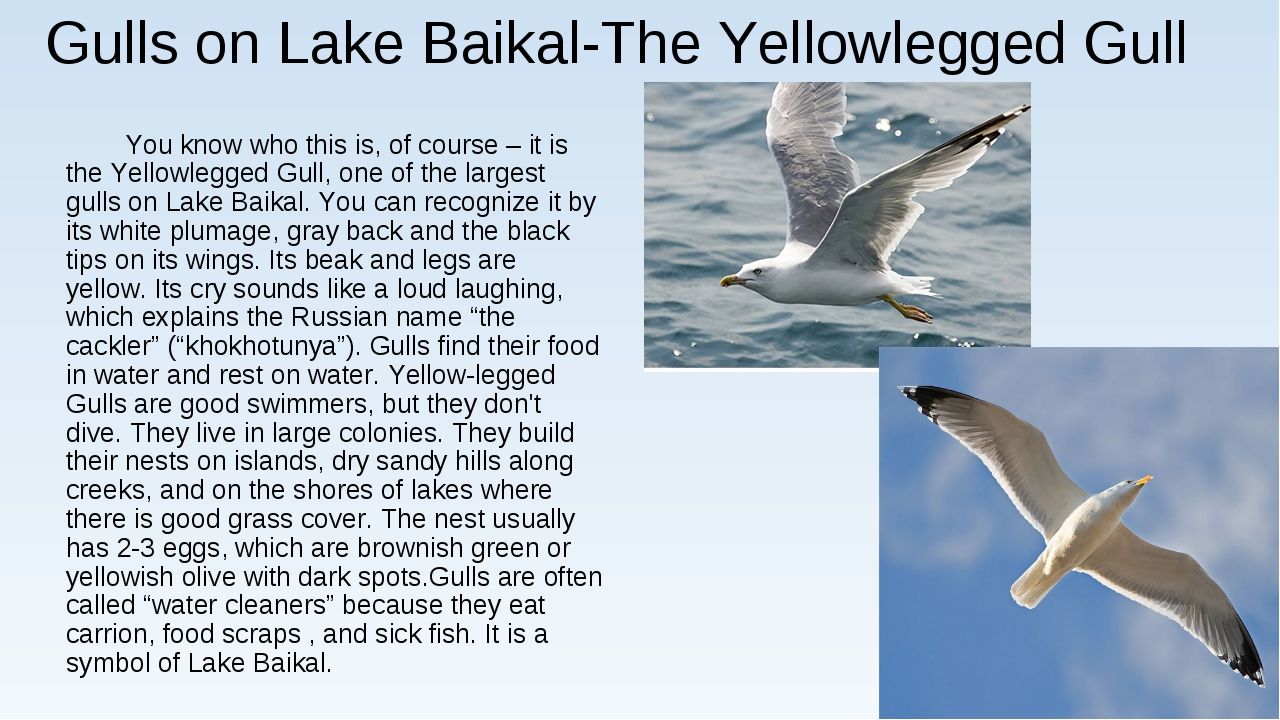 Gulls on Lake Baikal-The Yellowlegged Gull You know who this is, of course –...