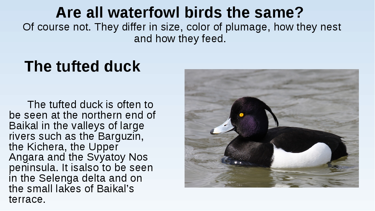 Are all waterfowl birds the same? Of course not. They differ in size, color o...