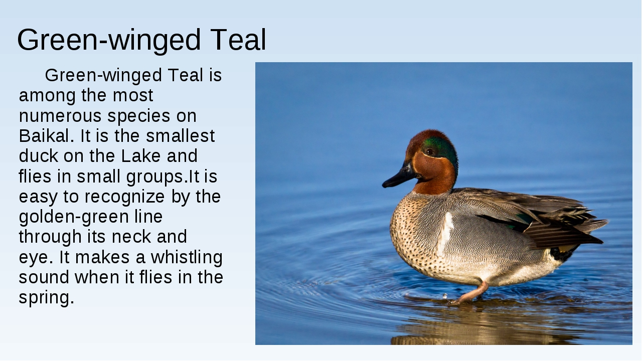 Green-winged Teal Green-winged Teal is among the most numerous species on Bai...