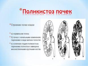 Строение почки кошки а) нормальная почка; б) почка с начальными изменениями в