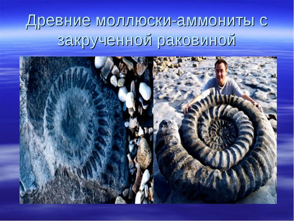 Древние моллюски-аммониты с закрученной раковиной