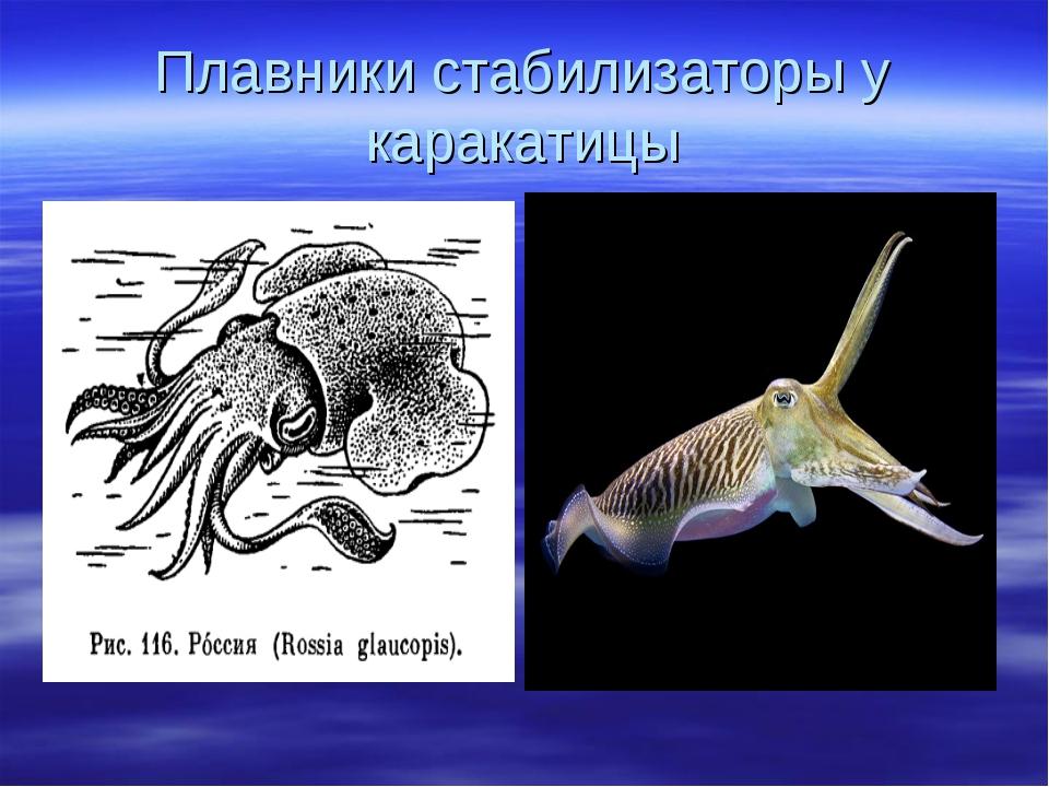 Плавники стабилизаторы у каракатицы