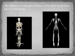 The skeleton is composed of bones. In the adult the skeleton has over 200 bon