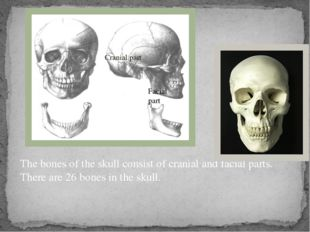 The bones of the skull consist of cranial and facial parts. There are 26 bone