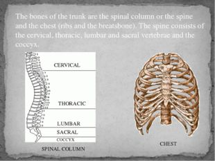 The bones of the trunk are the spinal column or the spine and the chest (ribs