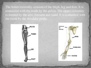The lower extremity consists of the thigh, leg and foot. It is connected with