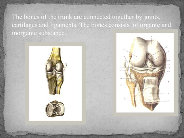 The bones of the trunk are connected together by joints, cartilages and ligam...