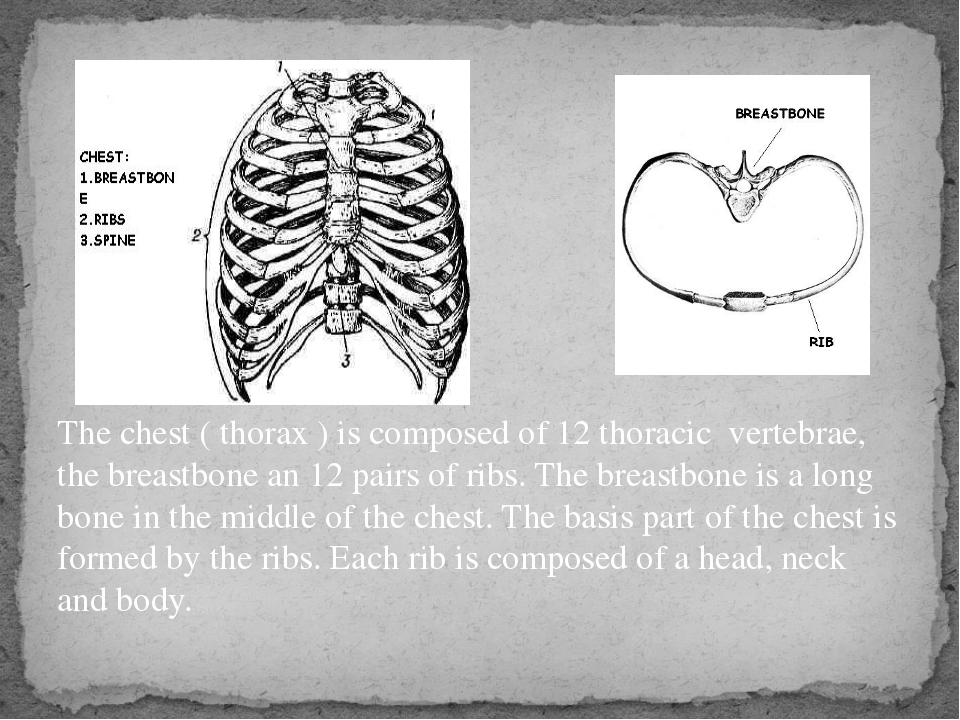 The chest ( thorax ) is composed of 12 thoracic vertebrae, the breastbone an...