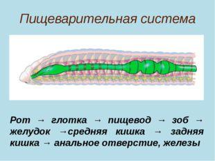 Пищеварительная система Рот → глотка → пищевод → зоб → желудок →средняя кишка